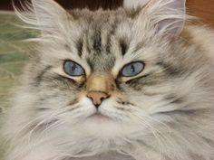 Lynx Color Point Siberian - My sweet girl, Mischa!