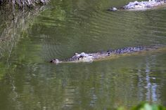 Did you ever meet a crocodile?  If not, you should to go to adventure in Sundarbans jungle! In Bangladesh of course…  http://www.inbangladesh.it/en/Sundarbans-jungla