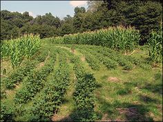 Visual barriers and screening cover such as hedgerows or corn plantings provide security for deer