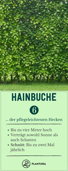 Easy-care hedges: Our top 6 as a privacy screen - Plantura - Hornbeam – place of the most easy-care hedges: With a height of up to four meters, the hornbe - shed landscaping shed landscaping landscaping flower beds landscaping gravel of shed landscaping Formal Gardens, Small Gardens, Outdoor Gardens, Herb Garden Design, Modern Garden Design, Privacy Hedge, Health Care Reform, Side Yards, Traditional Landscape