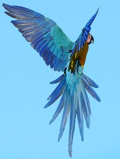 Wild blue & gold macaw Wild blue and yellow macaw