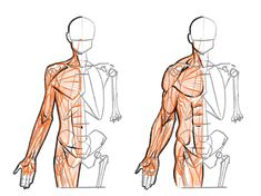 Arm Anatomy, Anatomy Study, Body Anatomy, Anatomy Art, Human Anatomy, Body Reference, Drawing Reference Poses, Anatomy Reference, Anatomy Sketches