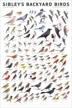 Sibley's Backyard Birds of Eastern North America WallPoster