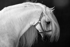 Black and White stunning image of Andalusian, my favorite mammal.
