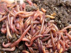 """NO LIE: I have a worm compost bin. It doesn't stink, and you can keep it in your house (but I don't, it's in the garage) After few months, put the """"castings"""" (worm poop) in your garden along with some worms (they have babies in the bin) and keep going! It keeps the dogs out of the dirt by keeping it in a bin too- GO GREEN!"""