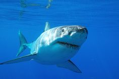 If you go into inspect to get a bit you are in there place so no kill great white