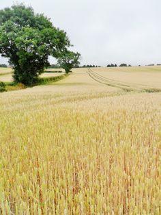 Wheat field ripens in the summer sun, Hobs Hole Lane, Aldridge, Walsall, England