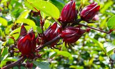 Roselle (Hibiscus sabdariffa) is a species of Hibiscus native to West Africa. The plant gained popularity all because of the warm beverage of the same name - roselle. Roselle has been made since the time of the pharaohs and Egyptian priests. Health Words, Hibiscus, Exotic, Skin Care, Flowers, Plants, West Africa, Farming, Egyptian