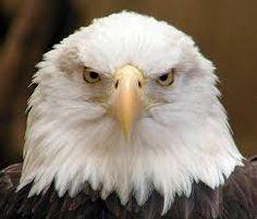Resultado de imagem para foto de aguia