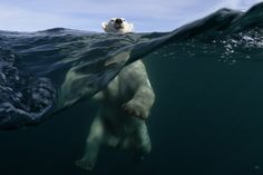 White bears are required to pass the stringent Navy Seals Treading-Icy-Water (NSTIW) test before they can become certified Polar Bears.