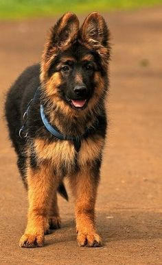 German Shepherd Dog now that my next doggie lookslike my bear as a puppy I miss him peace b with u my handsome one