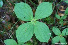 Vierblättrige #Einbeere, #Paris quadrifolia http://www.florilegium.de/blog/pflanzen/heimische-wildpflanzen-und-wildkraeuter/vierblaettrige-einbeere-paris-quadrifolia.html
