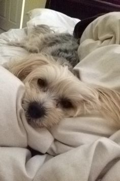 #morkie #dogs #cute....the face looks just like my little Boo <3