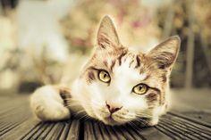 Beautiful Eyes - Yummypets.com #animal #pet #cat #kitty #kitten #chat