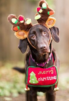 107 Best Christmas With Dogs Images On Pinterest Xmas Dogs And Pets