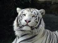 White tiger original source Google