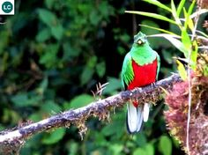☎️ https://www.facebook.com/WonderBirdSpecies/ 🌎🌍🌏🏵️ Image may contain: birdCrested quetzal (Pharomachrus antisianus); Native to South America; 📚 IUCN Red List of Threatened Species 3.1 : Least Concern (LC)(Loài ít quan tâm) 🐥 Quetzal mào; Loài bản địa Nam Mỹ; HỌ NUỐC - TROGONIDAE (trogons and quetzals).