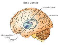 Basal Ganglia Brain