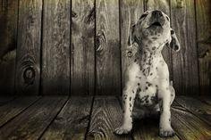 magicalnaturetour: Dalmatian puppy howling by Patricio Fuentes