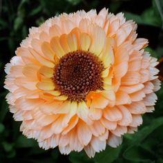 Calendula, Gerbera, Rare Flowers, Beautiful Flowers, July Flowers, Peach Flowers, Edible Flowers, Fresh Flowers, Spring Flowers