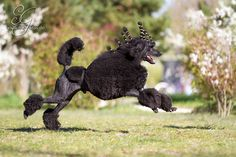 About Phoenix VDH Phoenix zur Riegelfeste BGH3 Birth date 12/17/2011 Testing Pedigree Phoenix is a Standard poodle who lives with his owner Bianca in Altendorf a town in the Upper Franconian, Bavar…