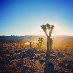 #JoshuaTree in #DeathValley. Photo courtesy of fire_at_the_rong_will on Instagram.
