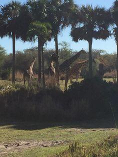 Girafffes