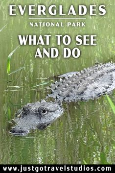 Everglades National Park is over 1.5 million acres of phenomenal wildlife, including birding and more alligators than you can imagine!  Check out what there is to see and do in this amazing park in south Florida! #justgotravelstudios #evergladesnationalpark #everglades #airboatride