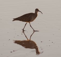 This photo of a Whimbrel bird was taken at La Conchita Beach in California. La Conchita Beach is home to many different wonderful wildlife. It is located at the Ventura/Santa Barbara County line.