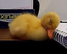 Duckling waking up. You have to see the head shake. Too cute!!! I think I just died a little!