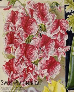 Vaughan's Seed Store promotes America Sweet Pea in its 1896 catalog.