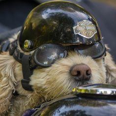 The Harley Davidson Motorcycle Dog… Funny Animal Pictures, Funny Animals, Cute Animals, Funny Dogs, Cute Dogs, Harley Davison, Harley Davidson Motorcycles, My Ride, Dog Life