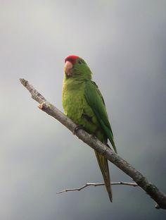 Psittacara wagleri / Perico frentirrojo / Scarlet-fronted Conure | by felixú
