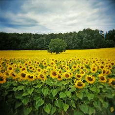 Sunflower field in Southern France. I love Sunflowers. Beautiful World, Beautiful Places, Beautiful Pictures, Flower Carpet, Sunflower Fields, Felder, South Of France, Mellow Yellow, Oh The Places You'll Go