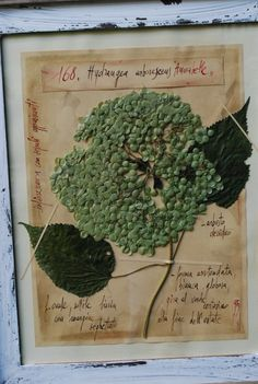 "Hydrangea arborescens ""Annabelle"", study of pressed and framed specimen"