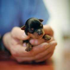 Newborn Rottweiler puppy. <3 Rotties