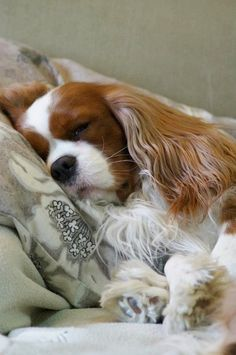 Sleepy  Cavalier~~looks like our precious Molly. Molly is the best dog I've ever had...cavis are incredible companions.