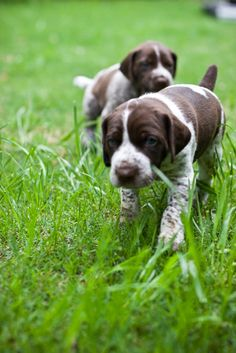 German shorthair puppy