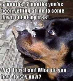 funny dogs Bark is worse than bite - Very interesting post: Rottweiler Dog - 56 Pictures.сom lot of interesting things on Funny Dog. Cute Animal Memes, Funny Animal Quotes, Cute Funny Animals, Funny Animal Pictures, Cute Baby Animals, Funny Cute, Dog Pictures, Animal Humor, Funny Squirrel Pictures