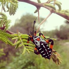 Giant Mesquite Bug (Thasus neocalifornicus) spotted in Puebla, Mexico