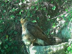 Wild Wood en Provence: buzzard fox cat and other birds 30 September, July 28, Buzzard, Bald Eagle, Provence, Fox, Birds, Cats, Gatos