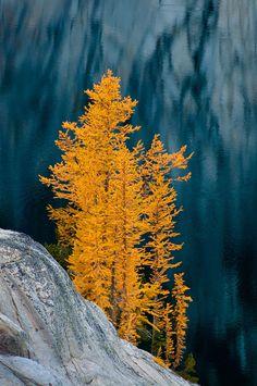 Alpine larch trees in autumn at Lake Viviane in The Enchantments, Alpine Lakes Wilderness, Washington.