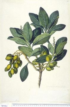 Corynocarpus Laevigatus - - New Zealand  -  artist John F Miller, Curtis's bot. Mag. 49: t. 2350 [1822].  The Endeavour botanical illustrations -