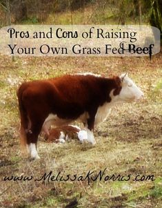 There are many things for beginners to consider when raising cattle for meat or for profit. I will show you how to build a thoughtful pros and cons list to confidently make your decision. #cattle #beef #grassfed #smallfarm
