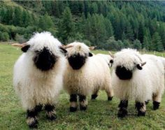 Apparently they're black nose sheep and clearly We all need one. Am I right or am I right?! : @highland_moos