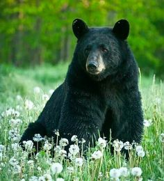 Black Bear, Animal Pictures, Funny Animals, Creatures, Photo And Video, Bears, Videos, Animals Images, Pictures