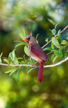 and in the eternal youth of Nature you may renew your own. All Birds, Love Birds, Pretty Birds, Beautiful Birds, Northern Cardinal, State Birds, Cardinal Birds, Backyard Birds, Bird Pictures
