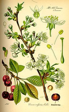 MORELLO sauer Cherry Visna Prunus cerasus - Wikipedia, the free encyclopedia