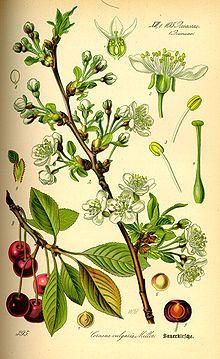 MORELLO sauer Cherry Visna Prunus cerasus - Wikipedia, the free encyclopedia