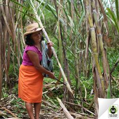 Did you know this is how your #sugar is harvested? Press 'like' to show your support for hardworking #FairTrade sugar farmers!